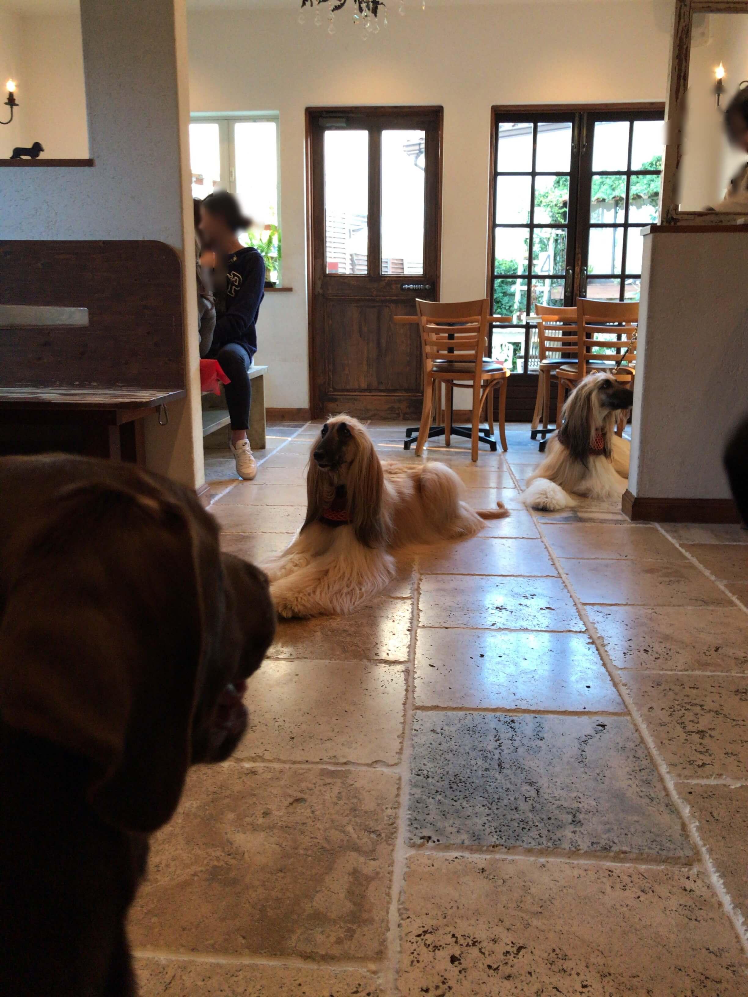 Laluce店内と看板犬を見ているチョコラブ