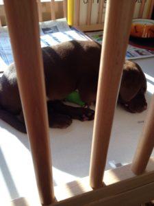 木製サークルで寝るチョコラブの子犬