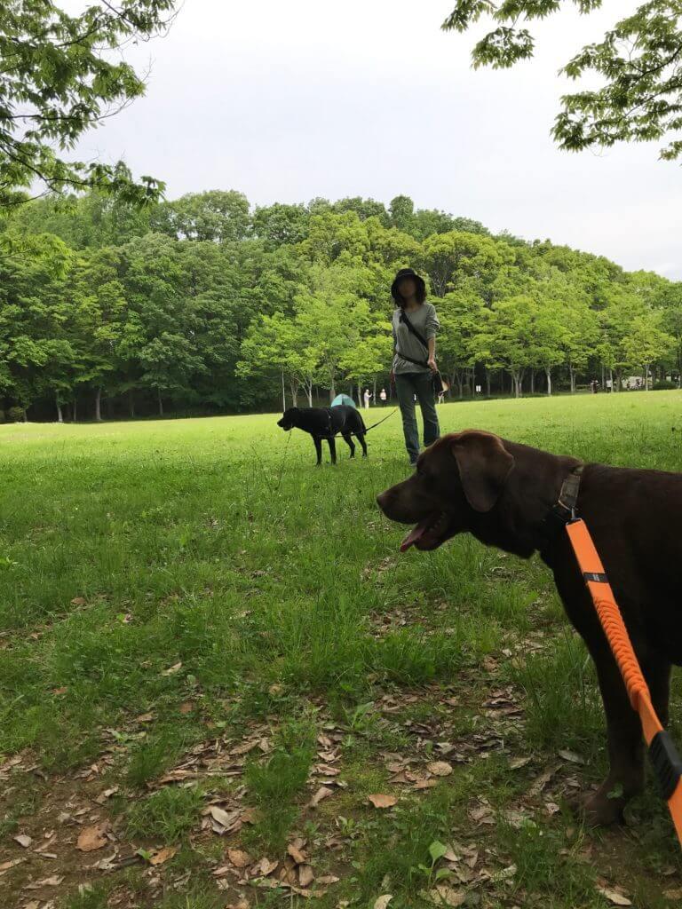公園を歩く黒ラブとチョコラブ