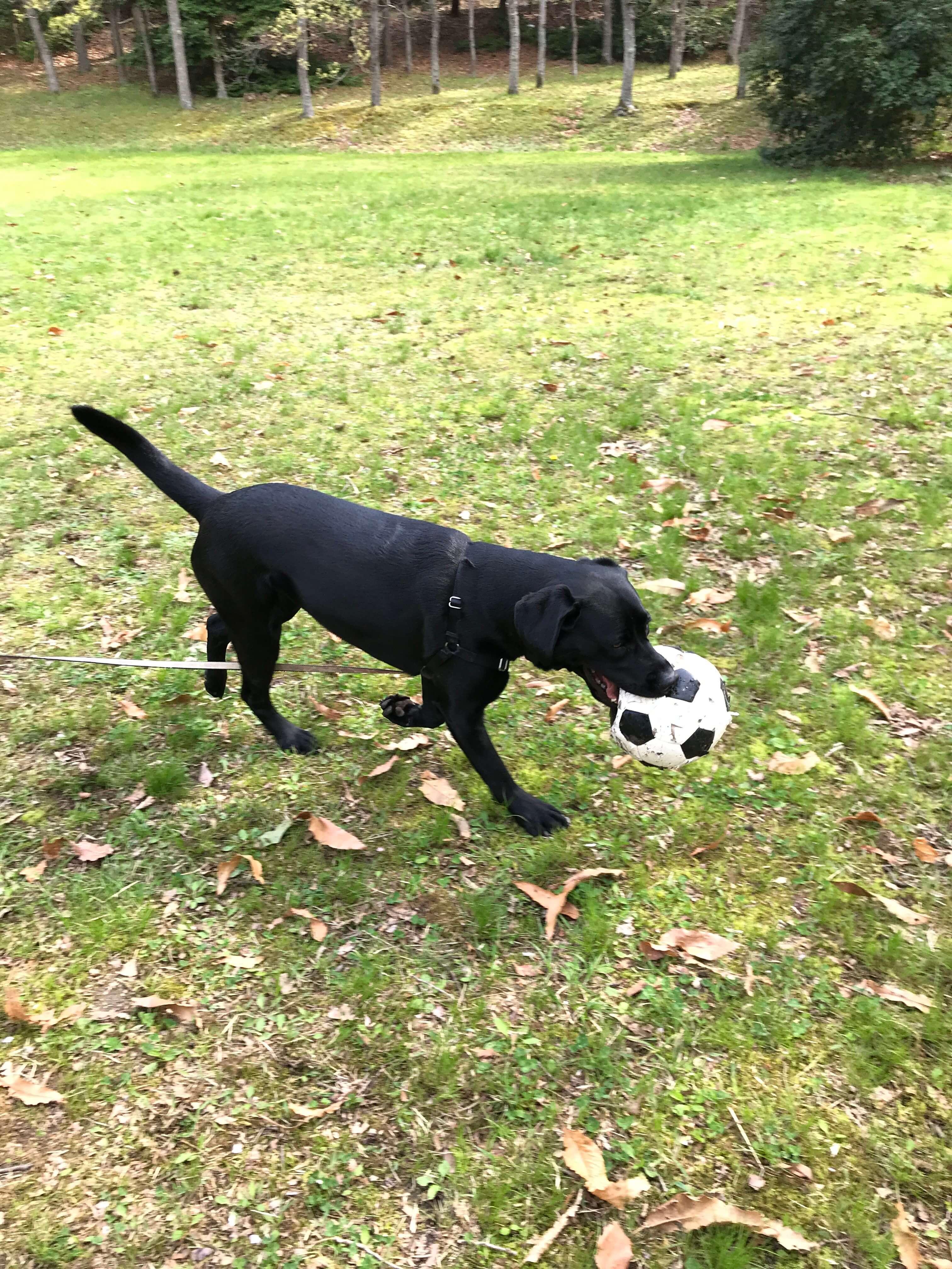 サッカーボールを咥えるラブラドールレトリバー