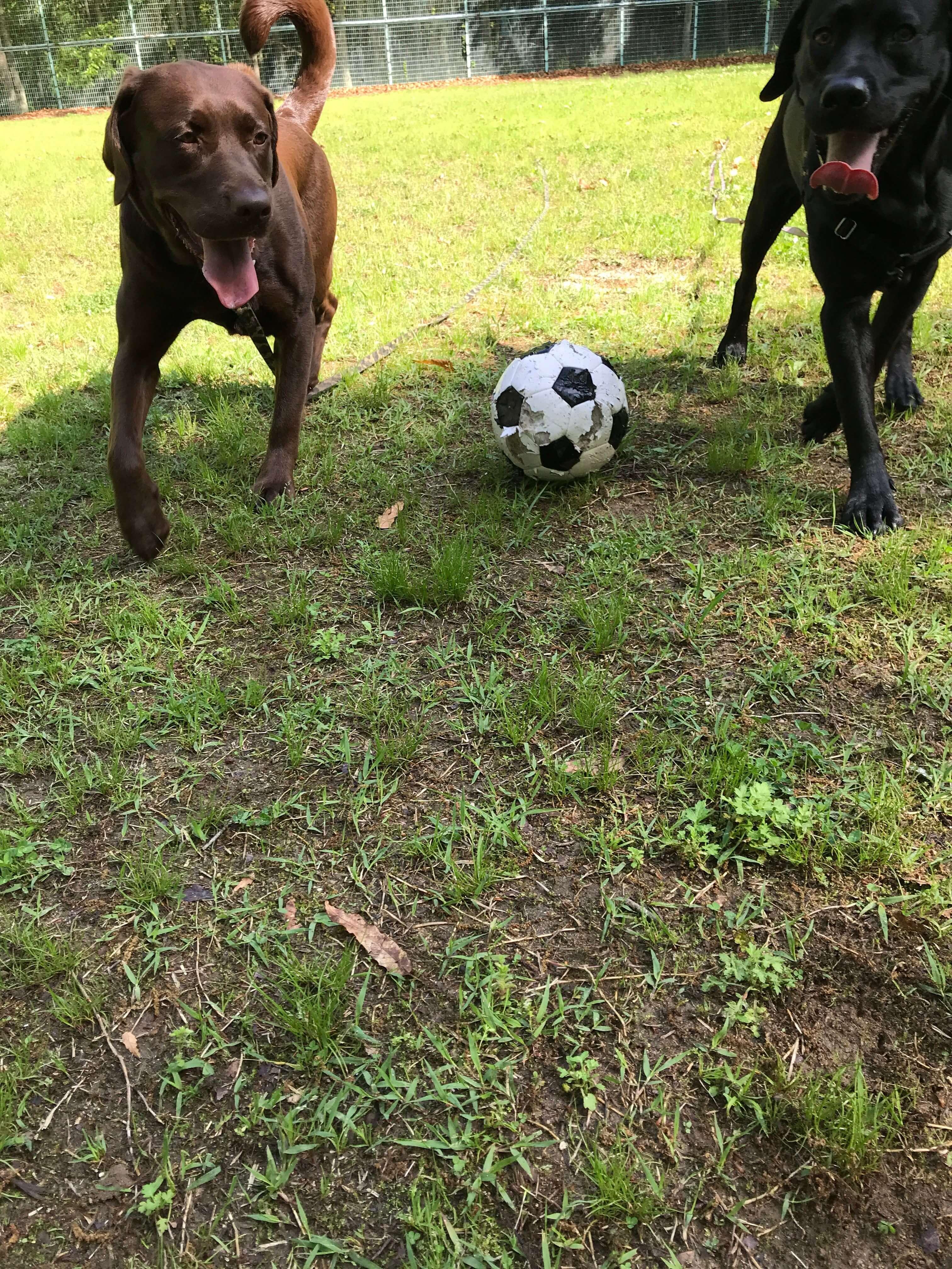 サッカーボールで遊ぶチョコレートのラブラドールレトリバーと黒のラブラドールレトリバー