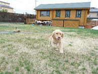 犬の学校あさかで遊ぶゴールデンレトリバー