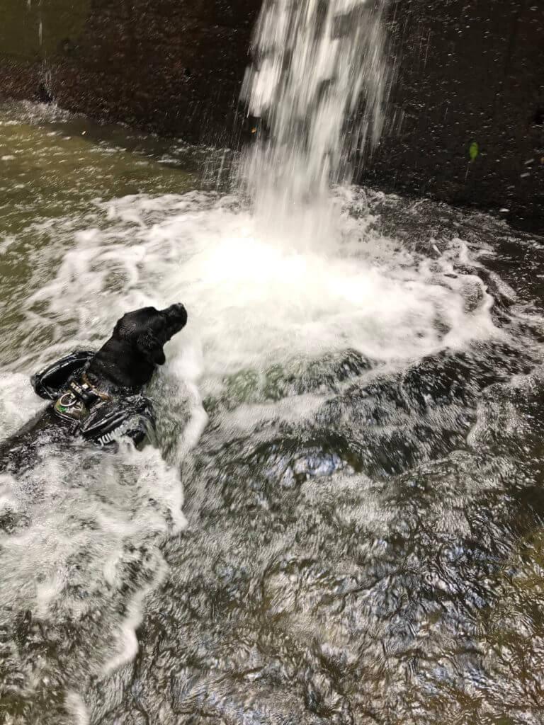 犬鳴山の川で泳ぐ黒ラブ