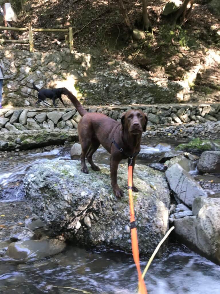 犬鳴山で川遊び中のチョコラブと川沿いを走る黒ラブ