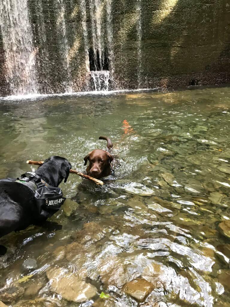 犬鳴山の川で遊ぶチョコラブと黒ラブ