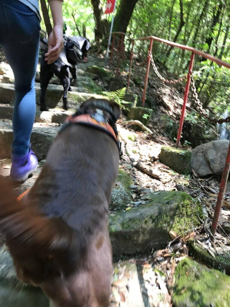 犬鳴山の長い階段を上るチョコラブと黒ラブ