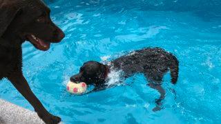 犬プールとラブラドール