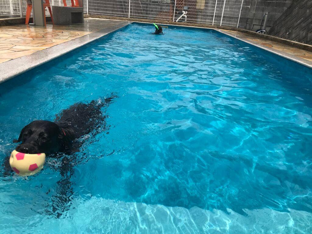 ドッグプールで泳ぐ黒のラブラドール