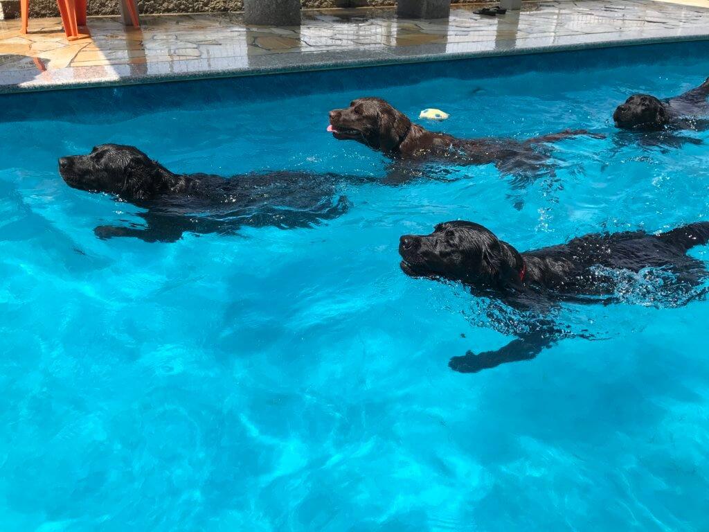 ミクニクラブのドッグプールで泳ぐ4頭のラブラドールレトリバー