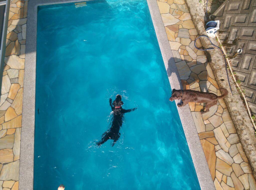 ミクニのドッグプールで泳ぐラブラドール