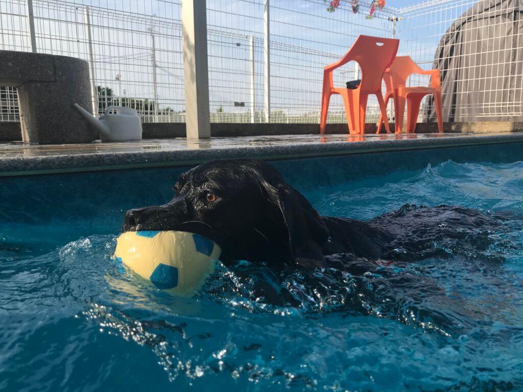 ドッグプールでボールを咥えて泳ぐ黒ラブ