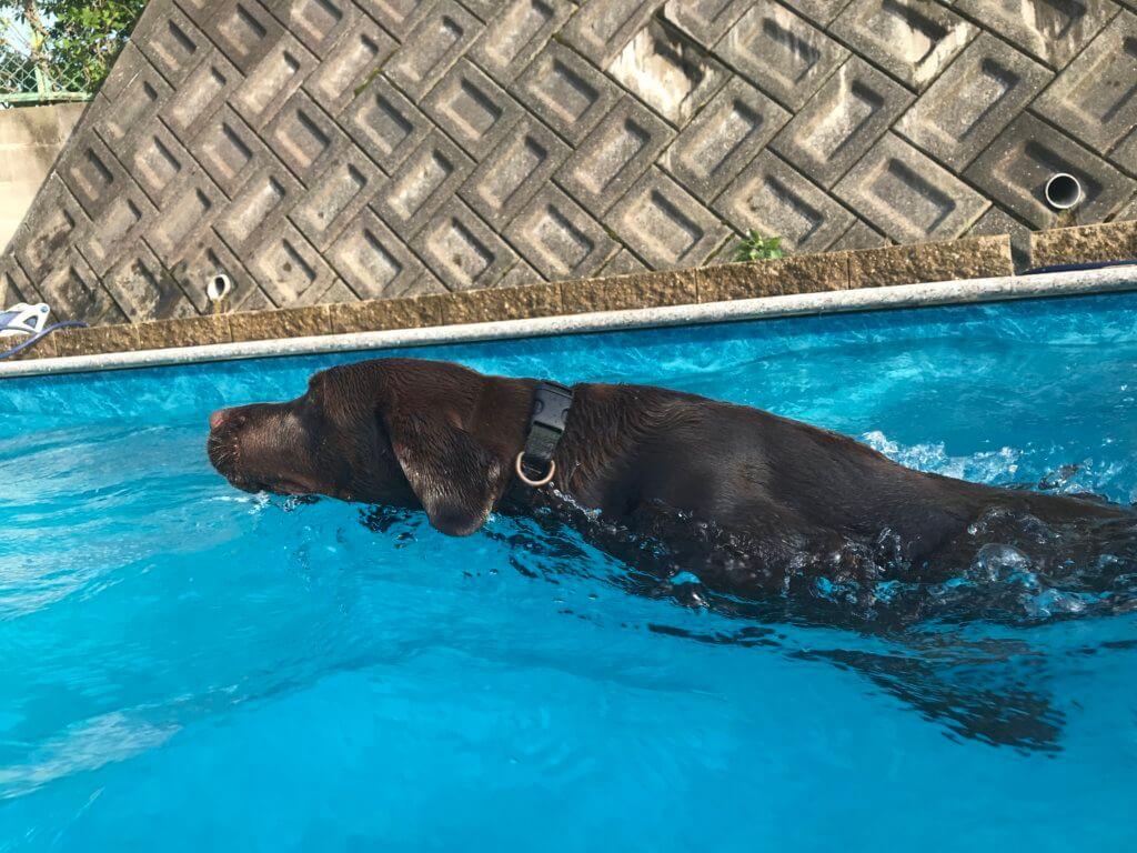 ドッグプールで泳ぐチョコラブ