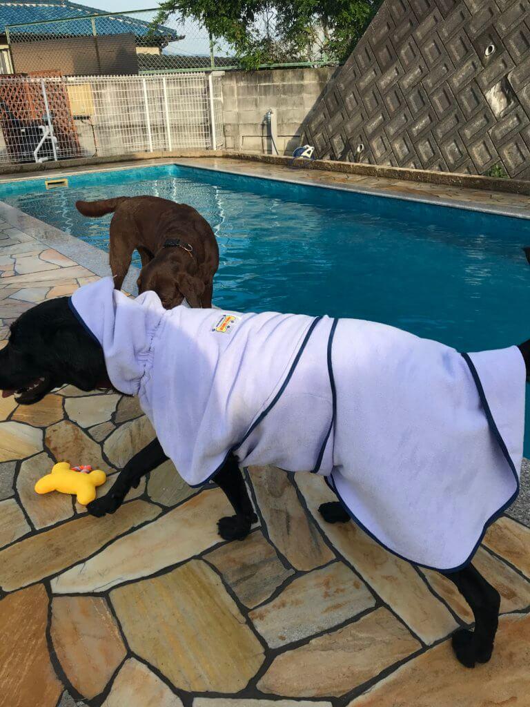 犬用バスローブを着るラブラドール