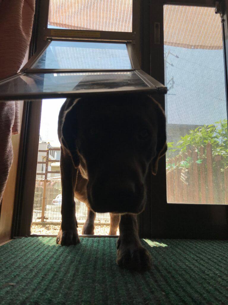 犬のドアを通って庭から部屋に入るラブラドール