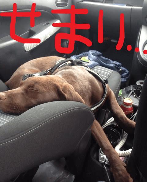 狭い車内で寝る犬 せまい