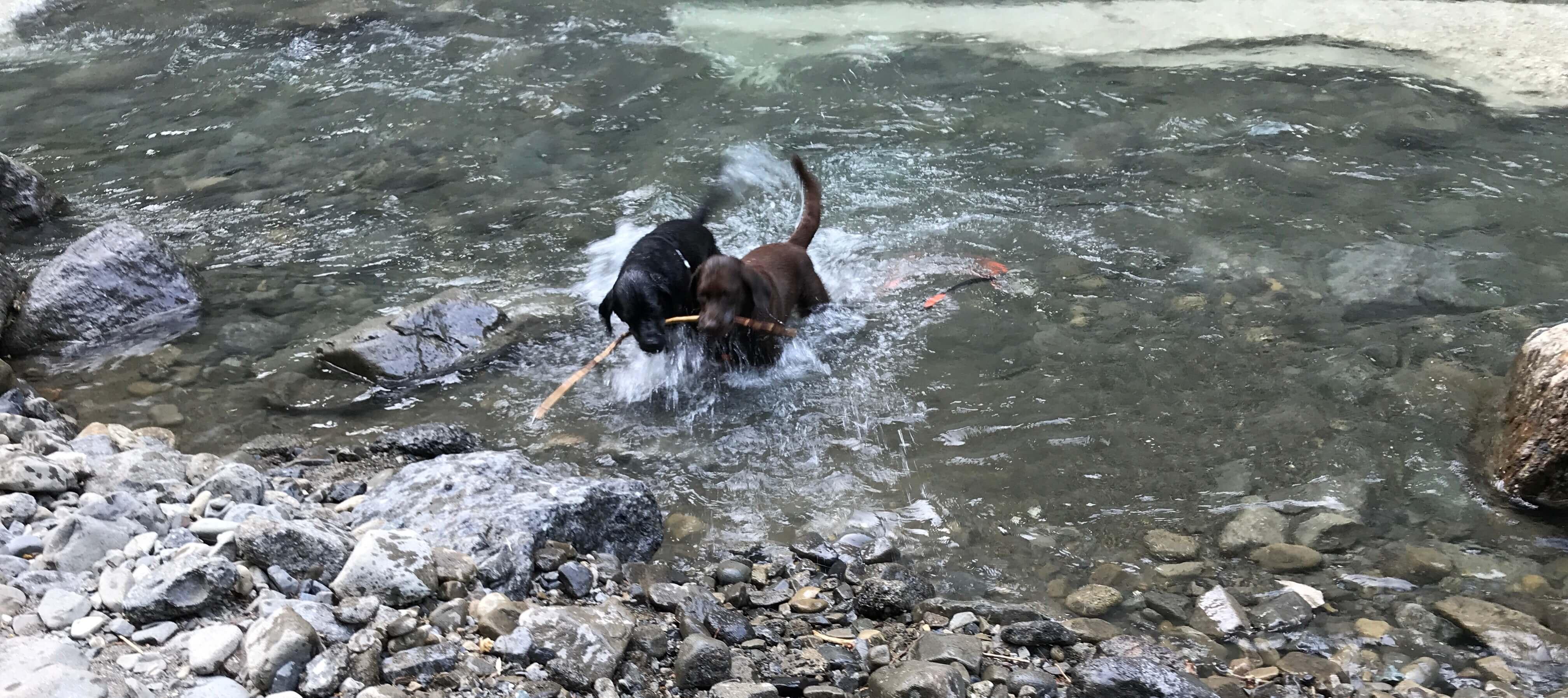 川で遊ぶ木を咥えたラブラドール