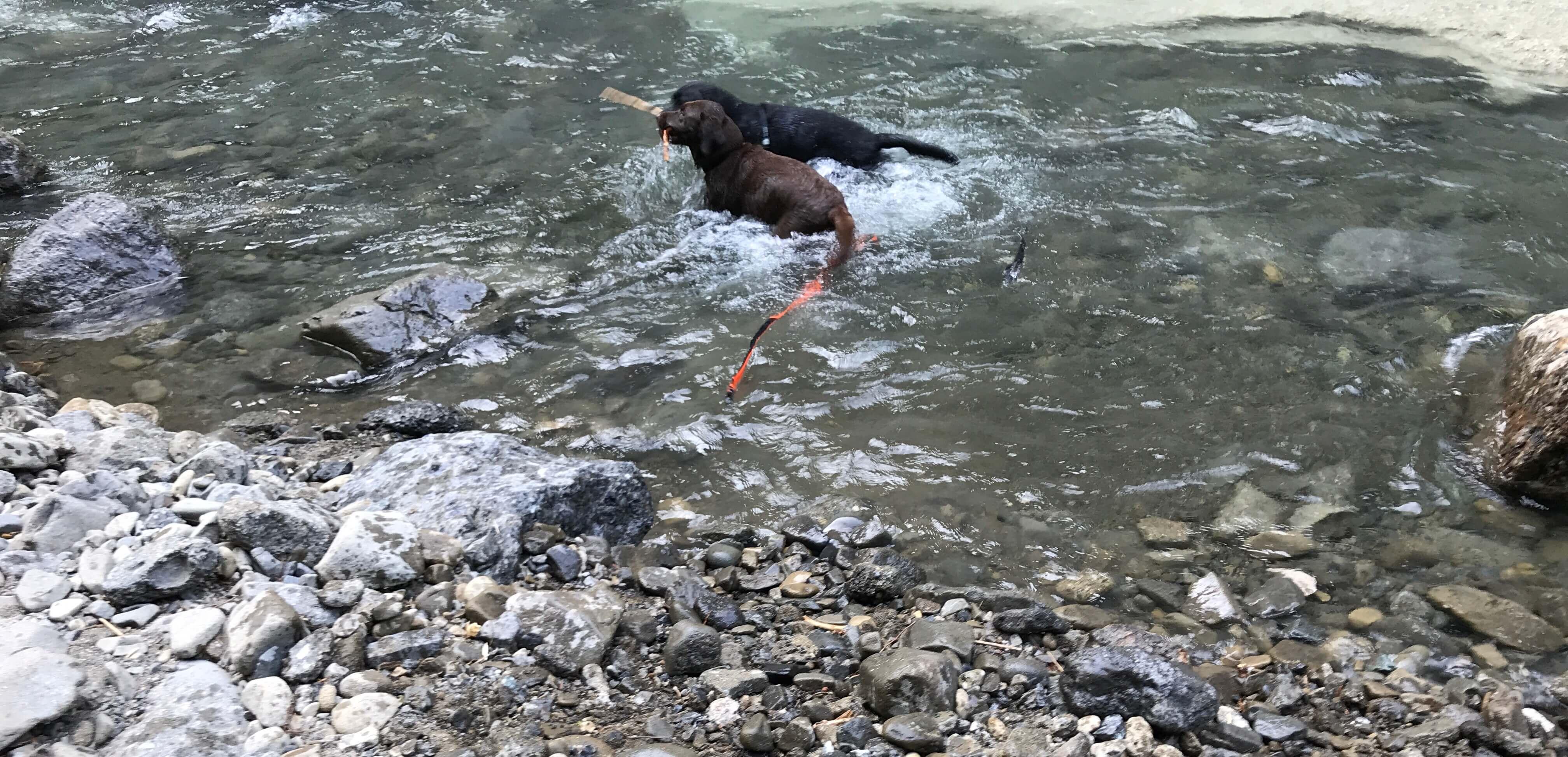 川遊び中枝を咥えたチョコラブと黒ラブ