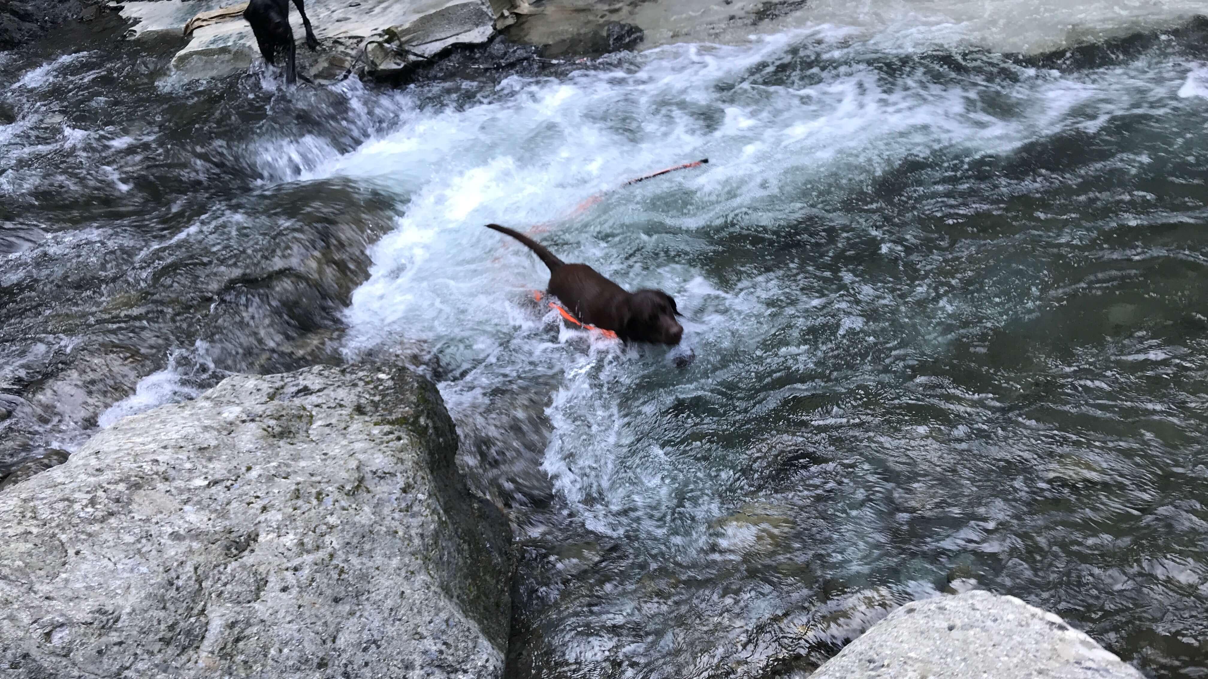 滝畑で川遊び中のチョコラブ