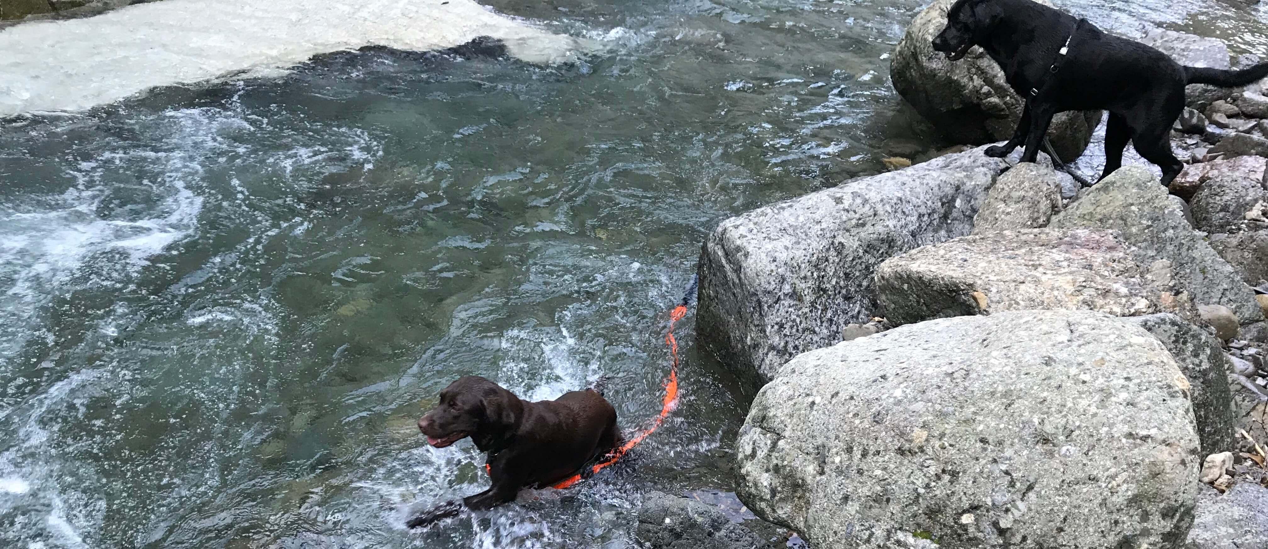 滝畑で川遊び中の黒ラブとチョコラブ
