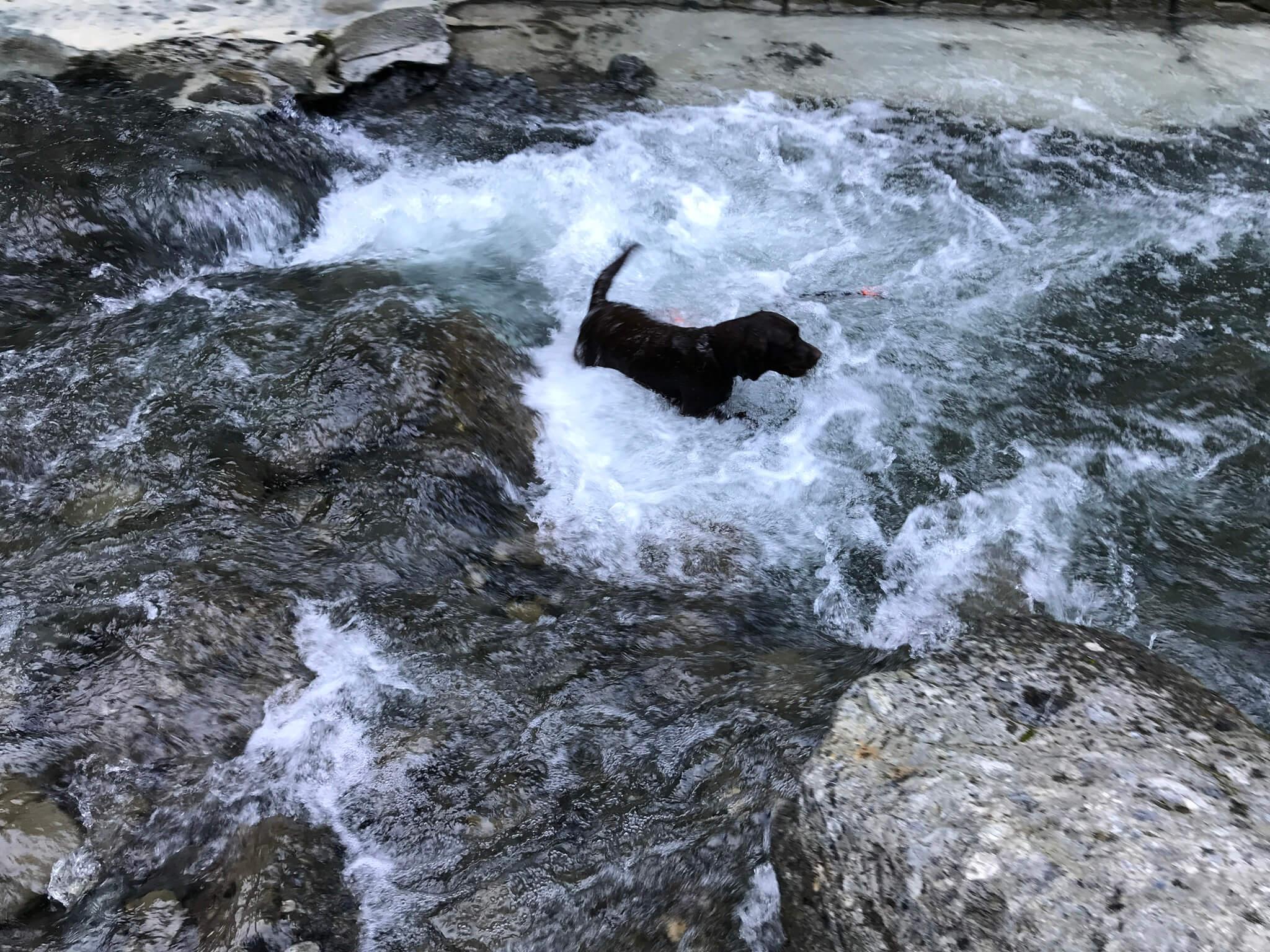 滝畑で川遊び中の黒ラブ