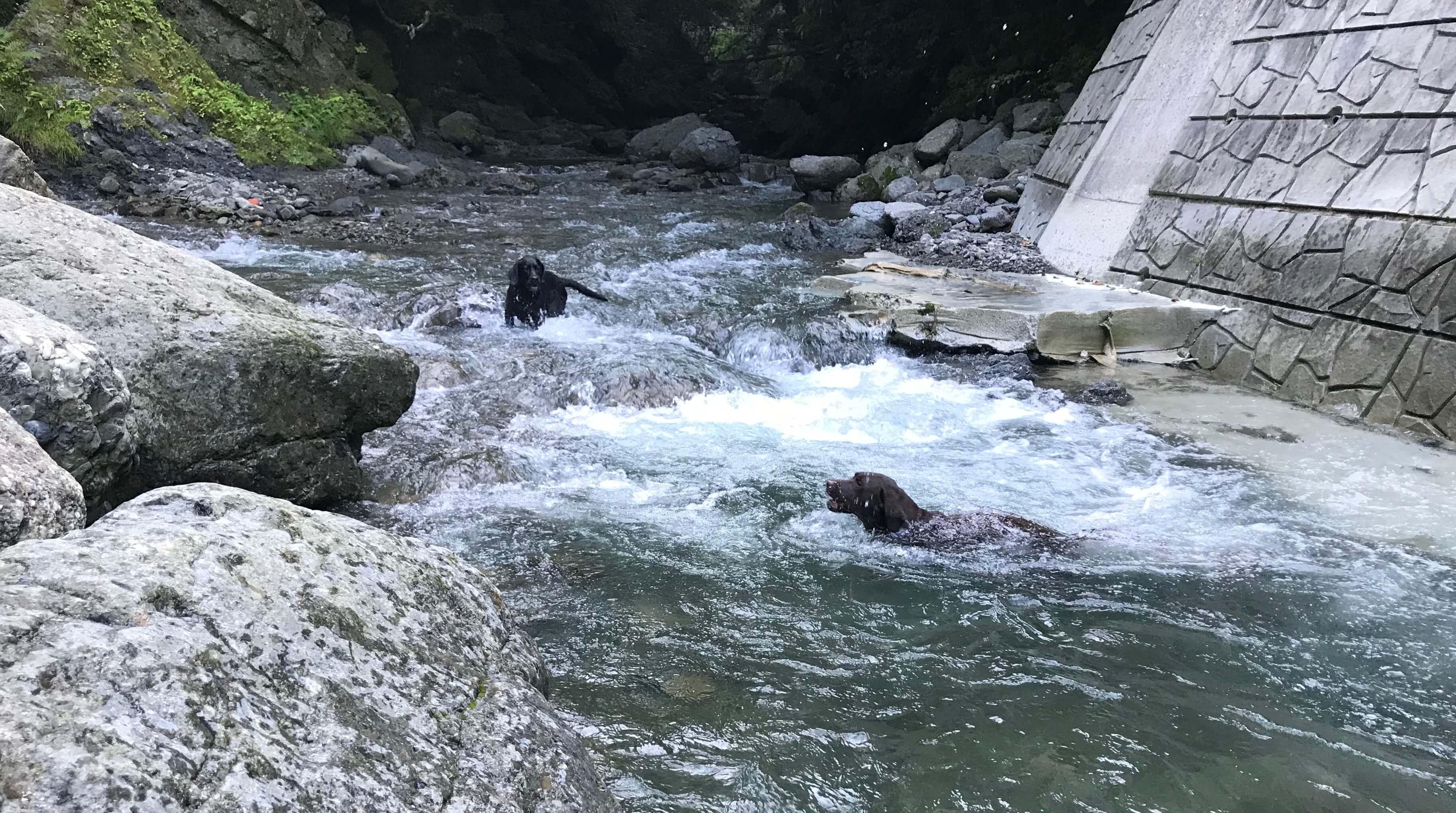 滝畑で川遊びするチョコラブと黒ラブ