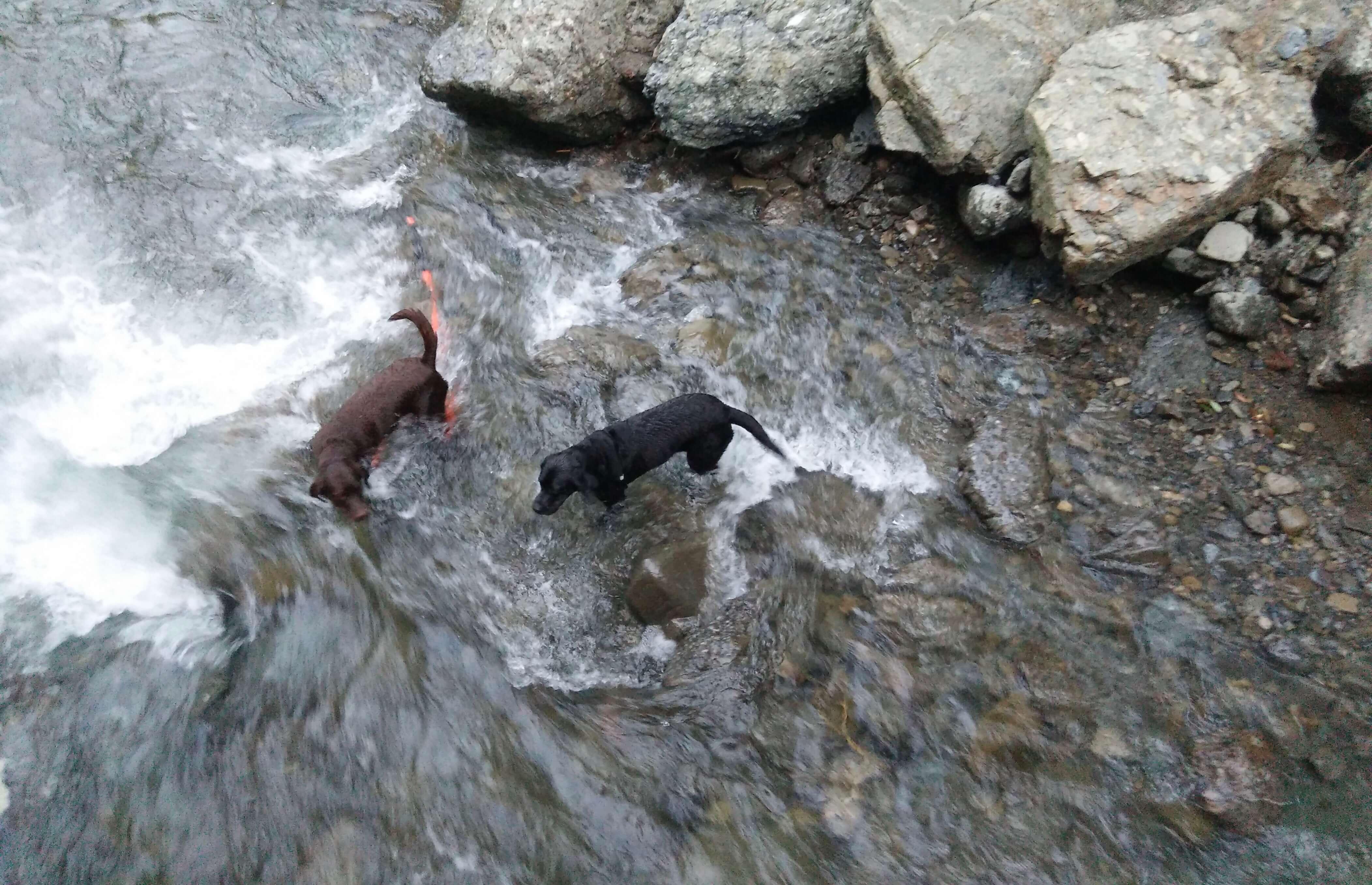 川遊び中のチョコラブと黒ラブ