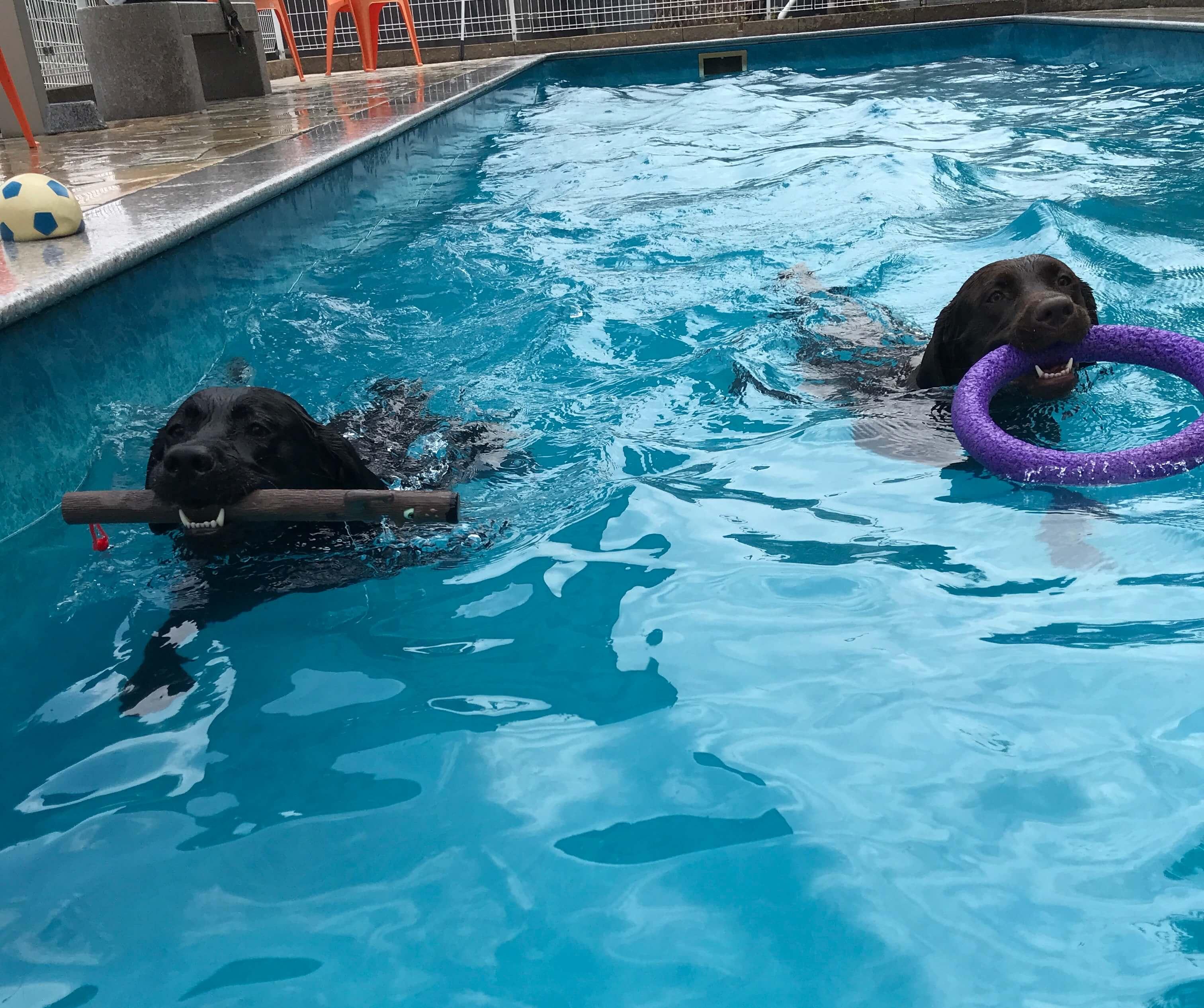 犬のプールで遊ぶ黒ラブとチョコラブ