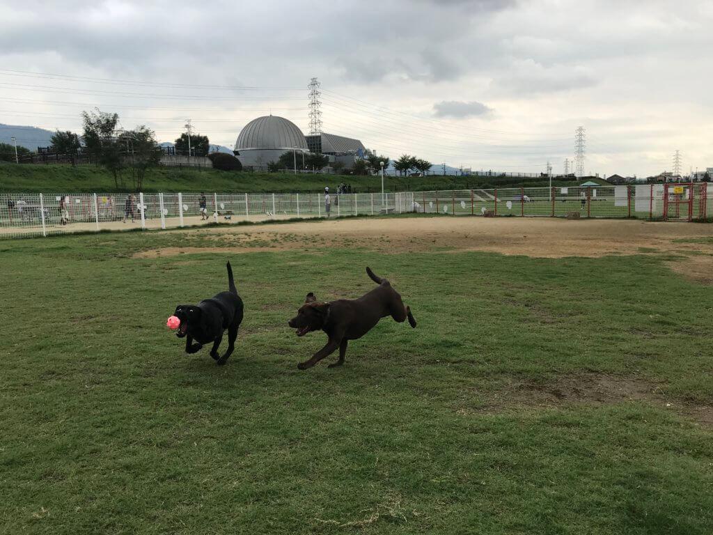 花園中央公園ドッグランでボール遊びをするチョコラブと黒ラブ