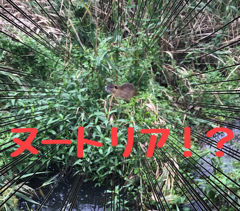 花園中央公園でヌートリアを発見