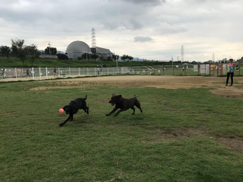 花園中央公園ドッグランでボール遊び遊ぶをするチョコラブと黒ラブ