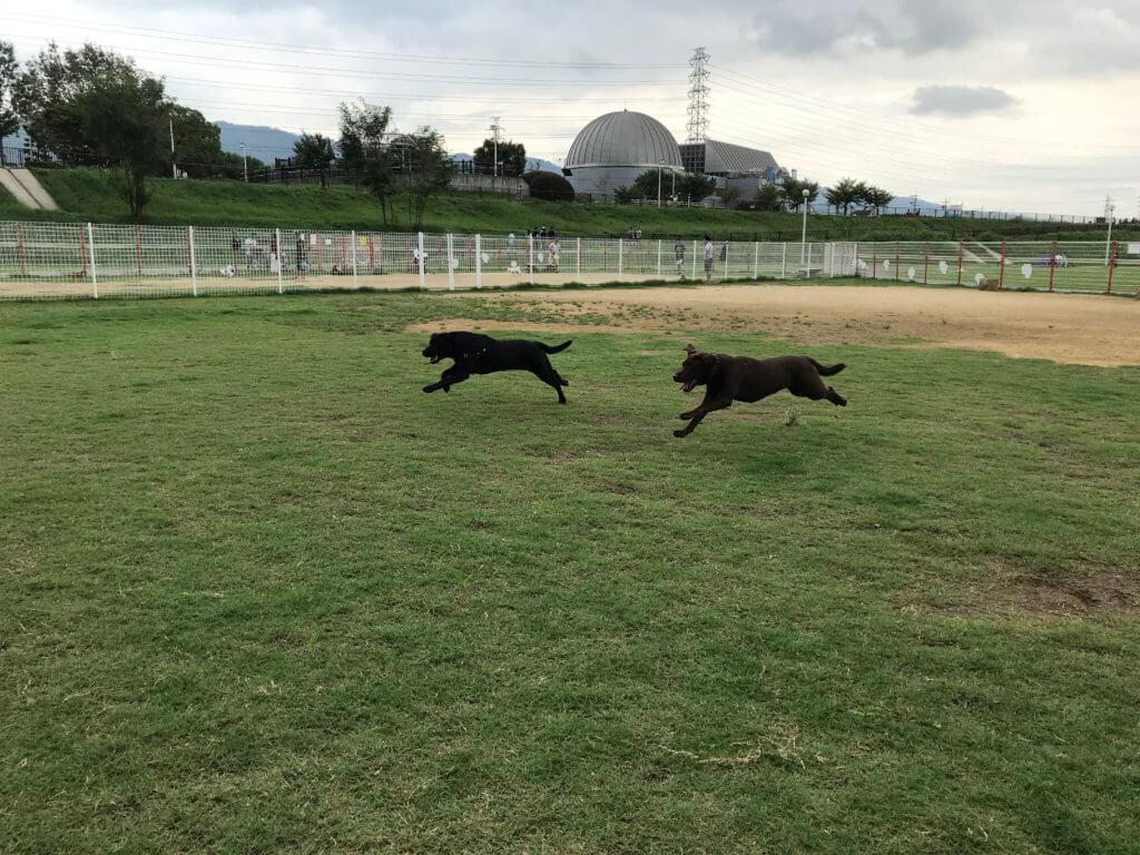 花園中央公園ドッグランで飛ぶように走るチョコラブと黒ラブ