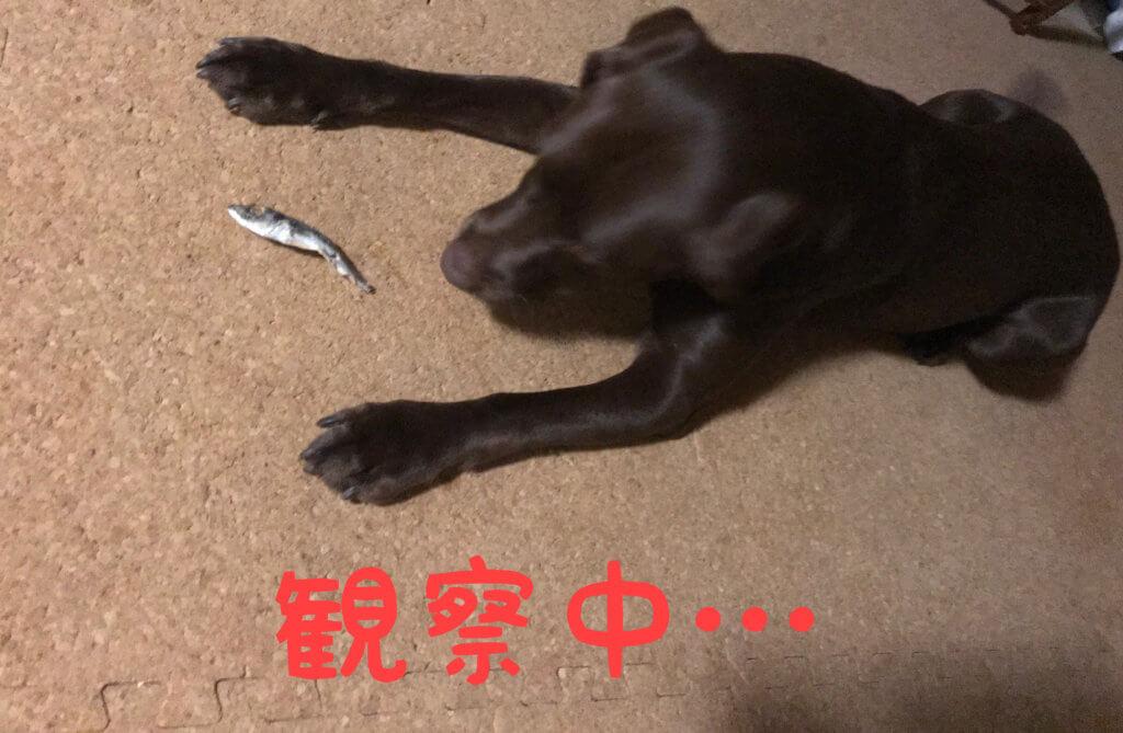 犬のオヤツ 小アジ 観察中のチョコラブ