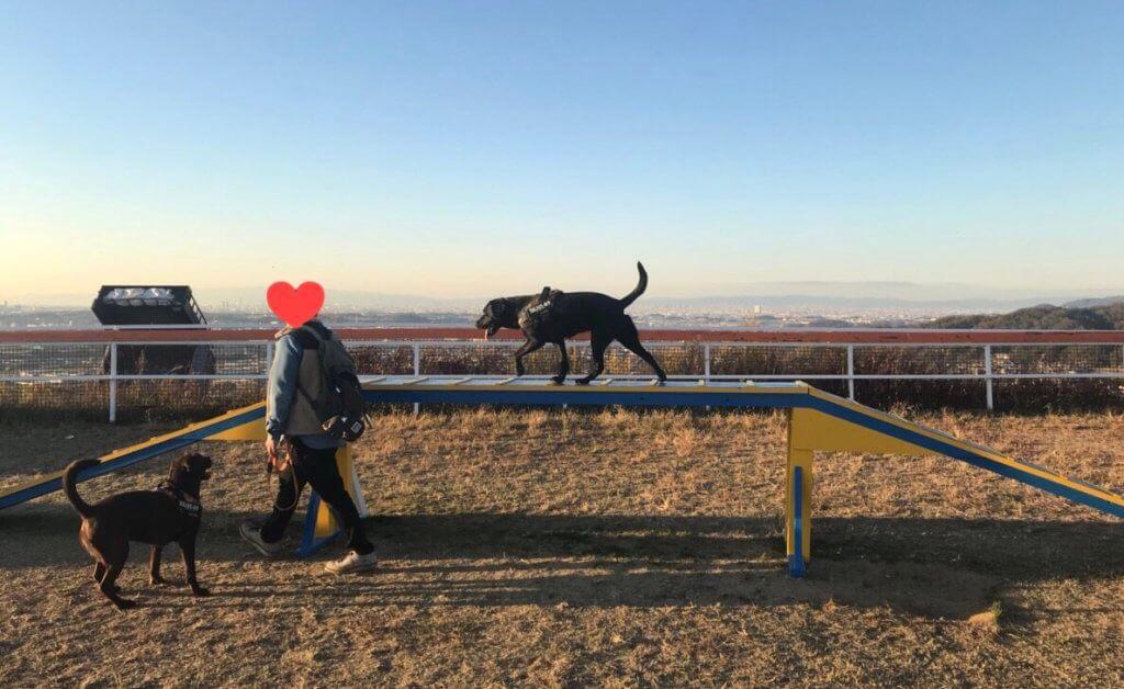 ワールド牧場のドッグランのアジリティで遊ぶ黒ラブ