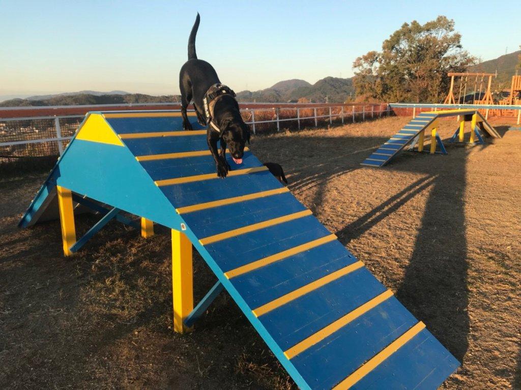ワールド牧場、ドッグランのアジリティで遊ぶ黒ラブ