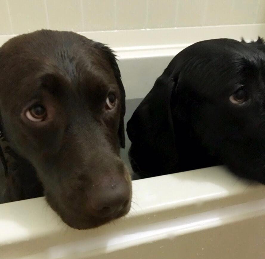 お風呂に浸かるチョコラブと黒ラブ