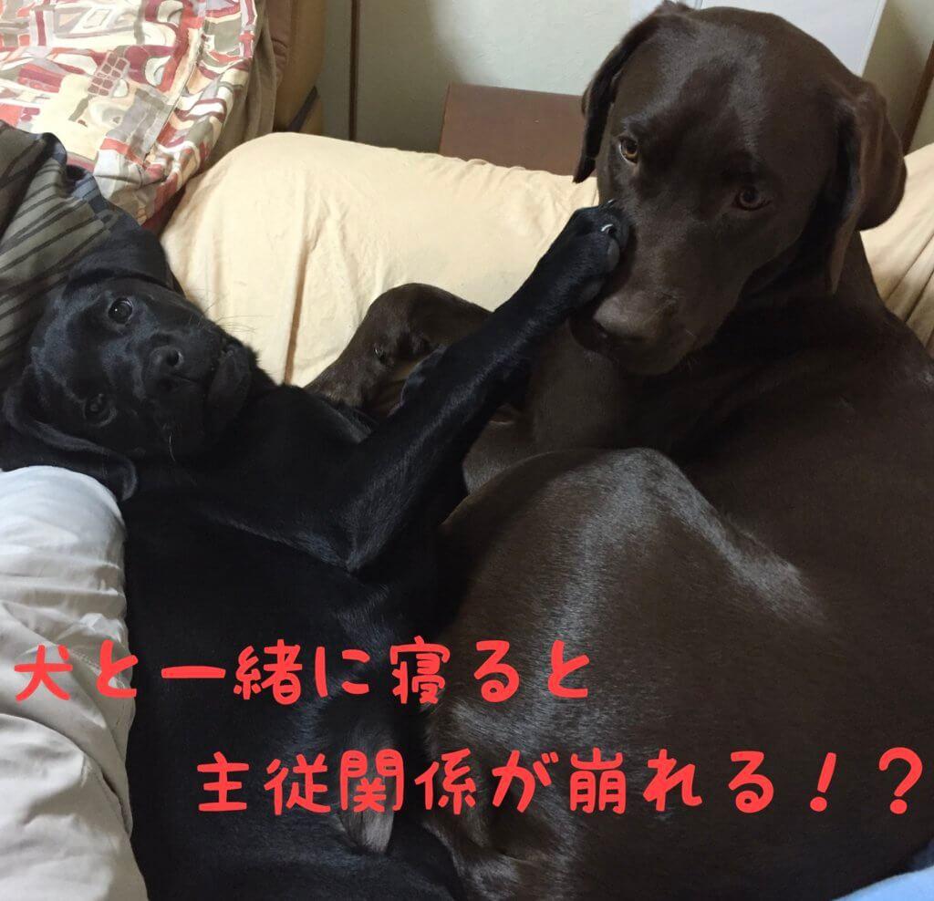 ラブラドールレトリバー 犬と一緒に寝ると主従関係が崩れる