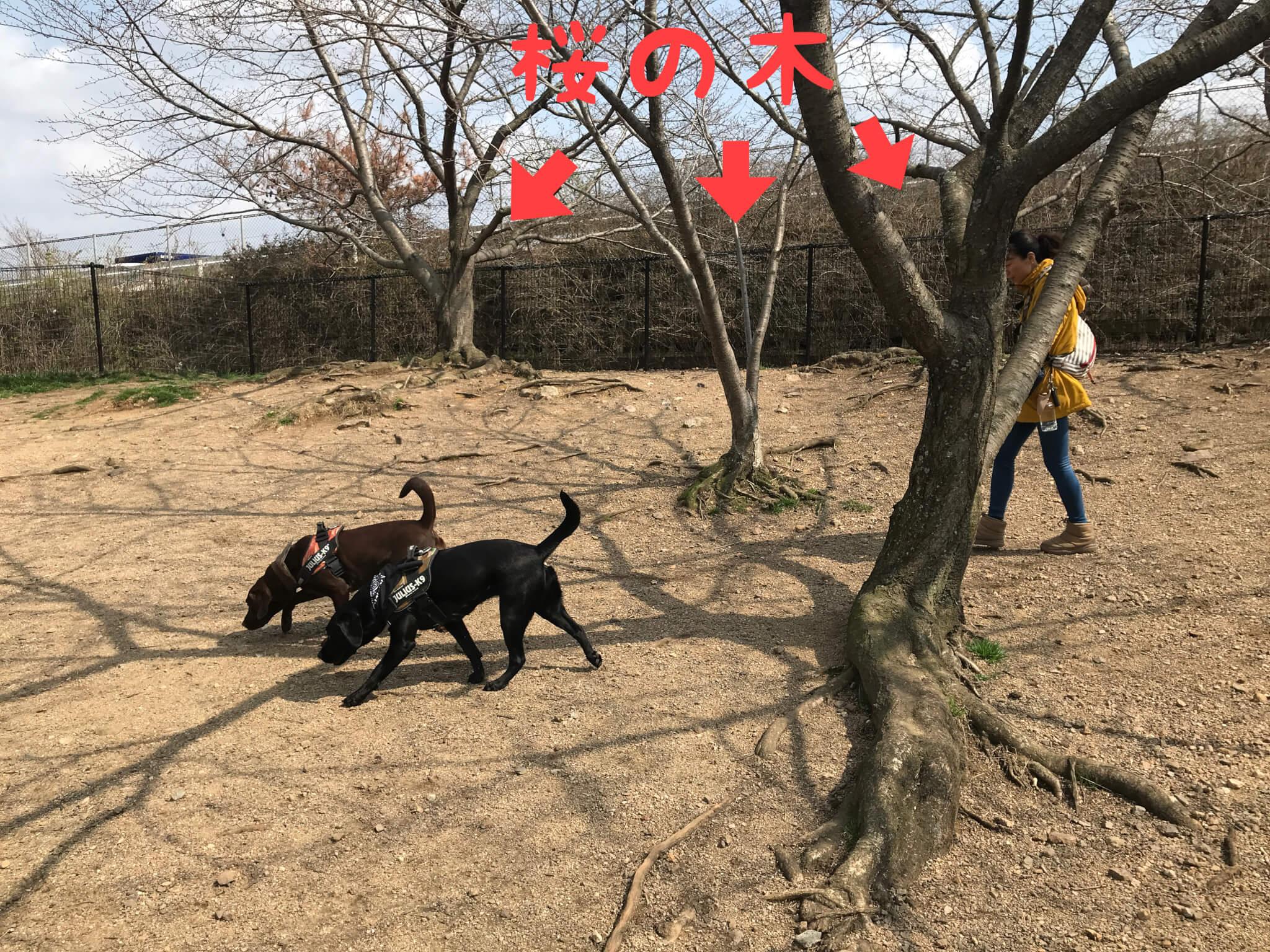 岸和田サービスエリア ドッグラン 桜の木 ラブラドールレトリバー