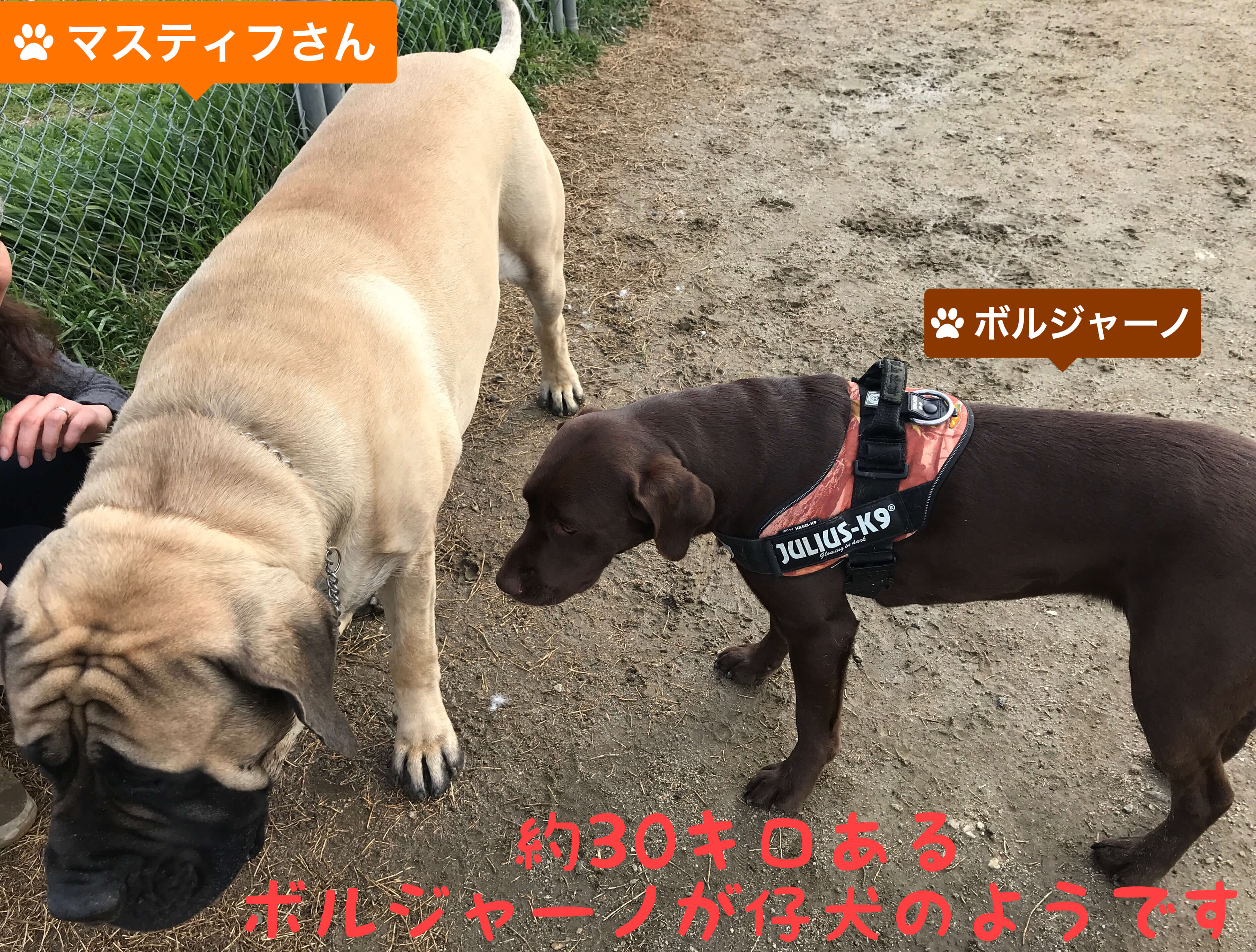 堺浜 海とのふれあい広場 ドッグラン マスティフさん ボルジャーノ 約30キロあるボルジャーノが仔犬にようです