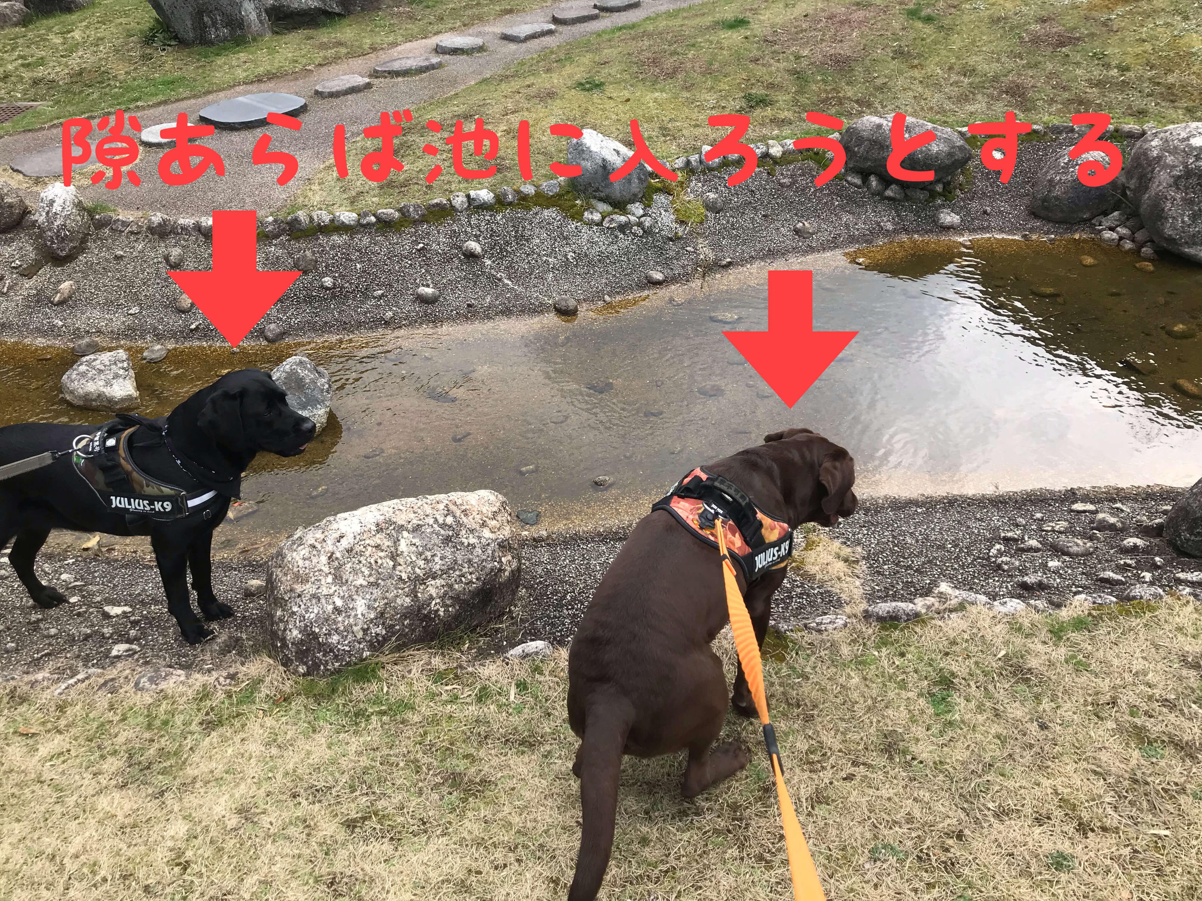 岸和田SA 隙あらば池に入ろうとするラブラドールレトリバー