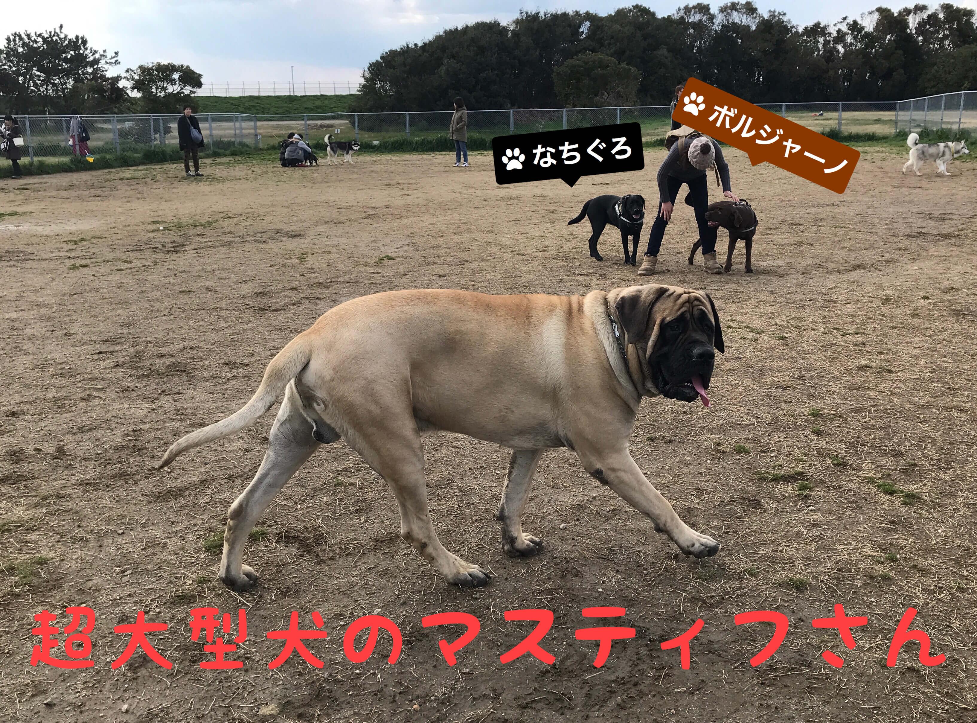 海とのふれあい広場 ドッグラン 超大型犬にマスティフさん なちぐろ ボルジャーノ