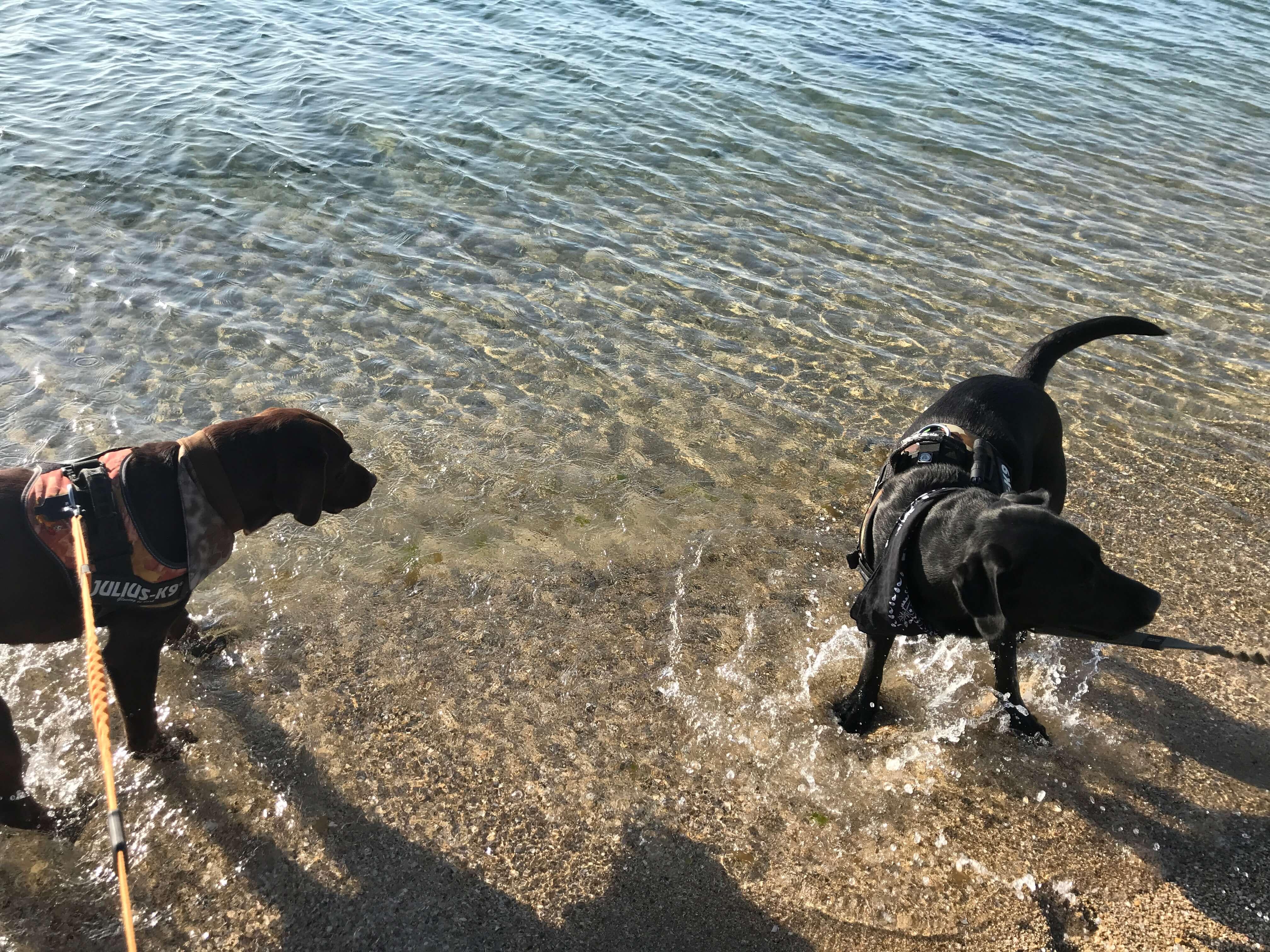 二色の浜 海で遊ぶラブラドールレトリバー