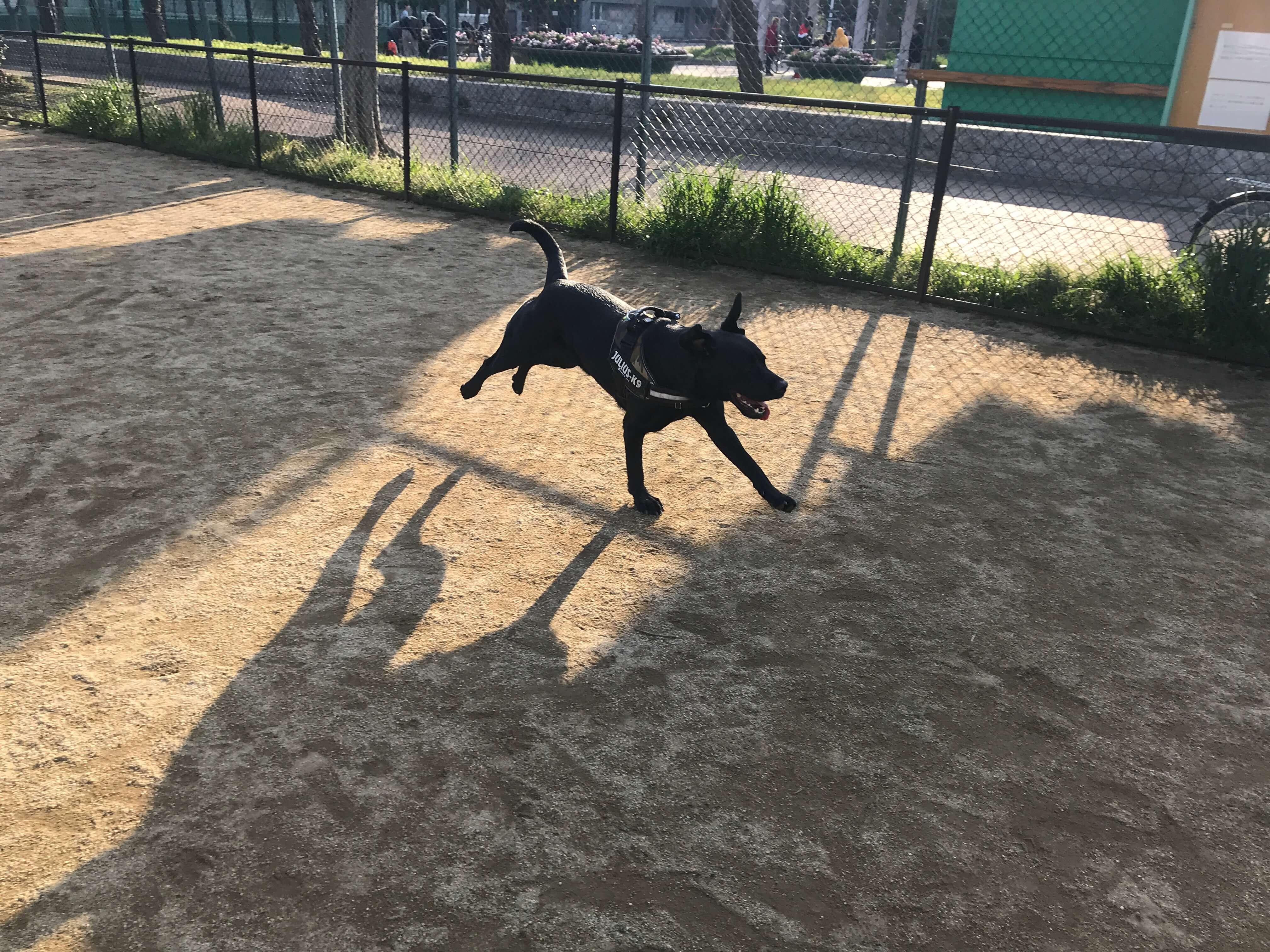 住之江公園ドッグラン ラブラドールレトリバー