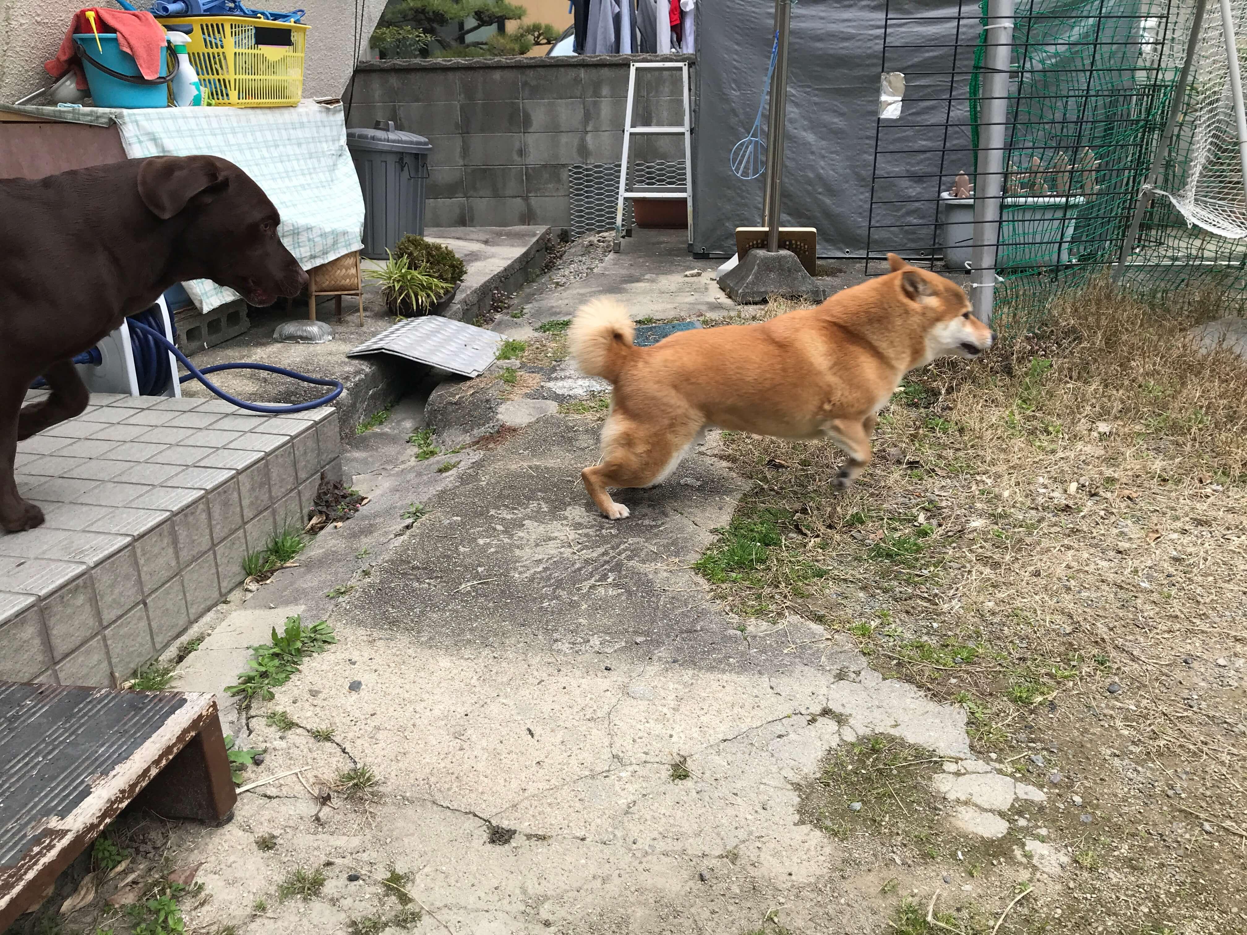 ラブラドールレトリバー 柴犬