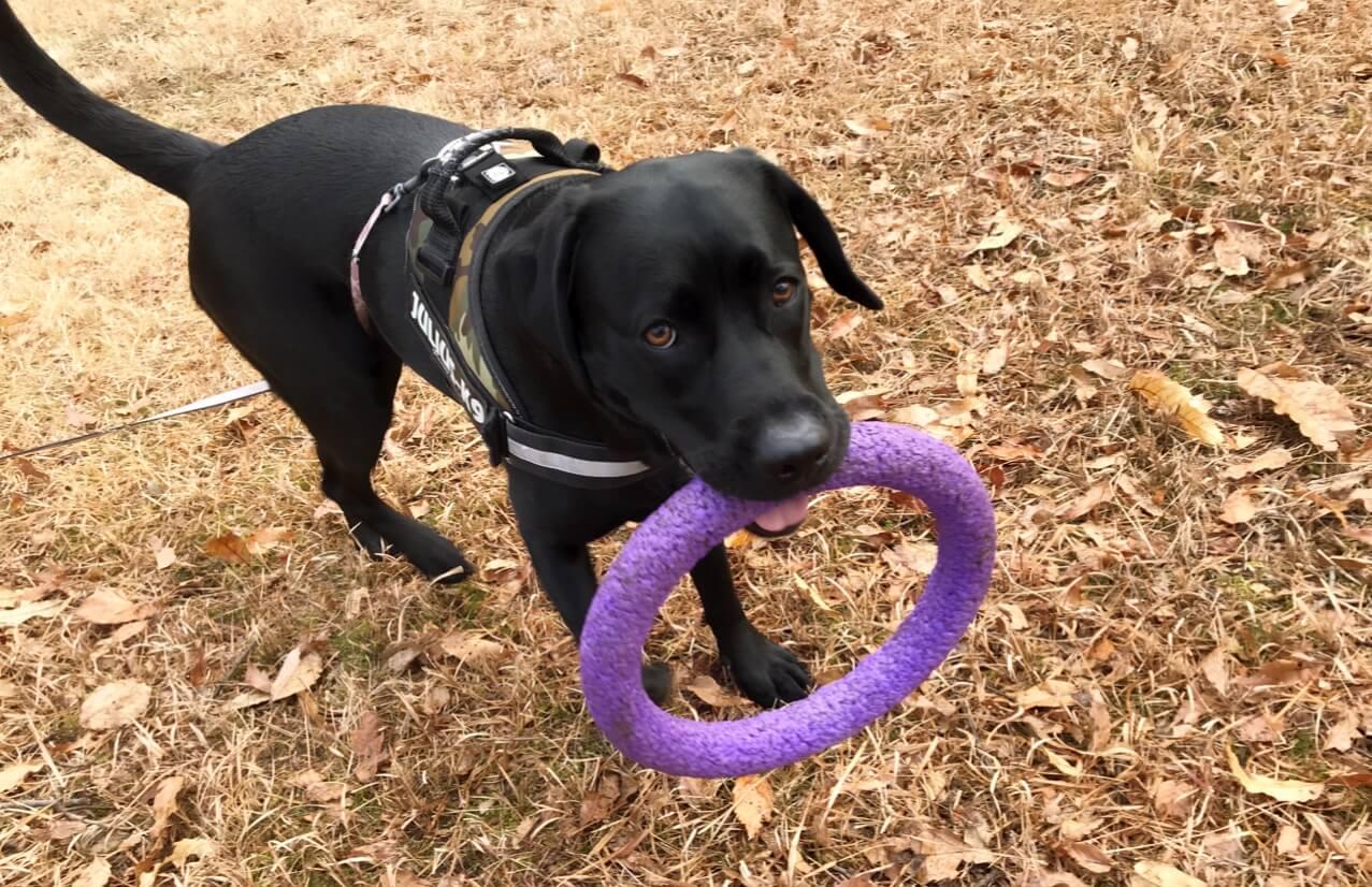 犬のおもちゃ pullerを咥える ラブラドールレトリバー