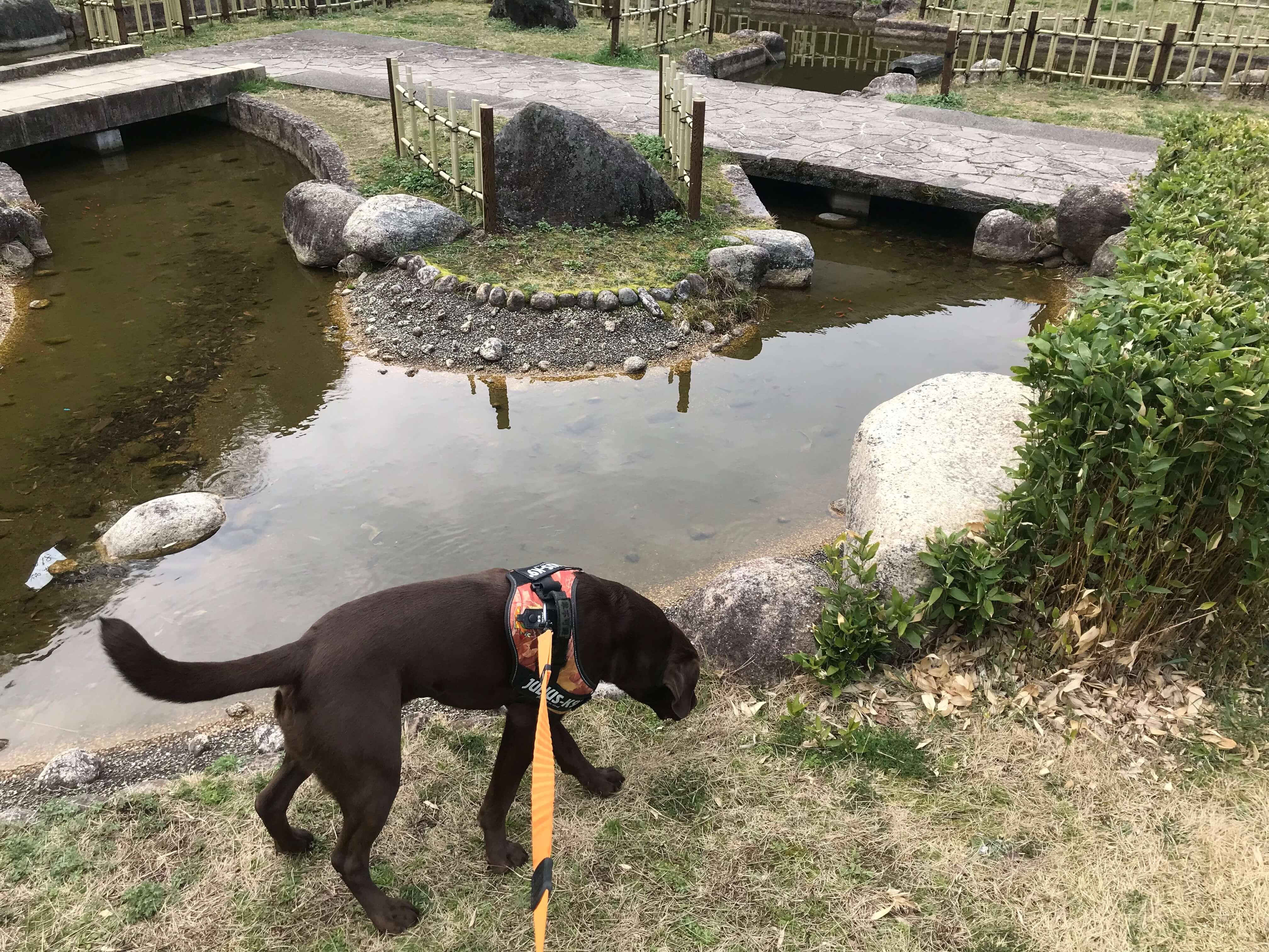 岸和田SA ラブラドールレトリバー 池