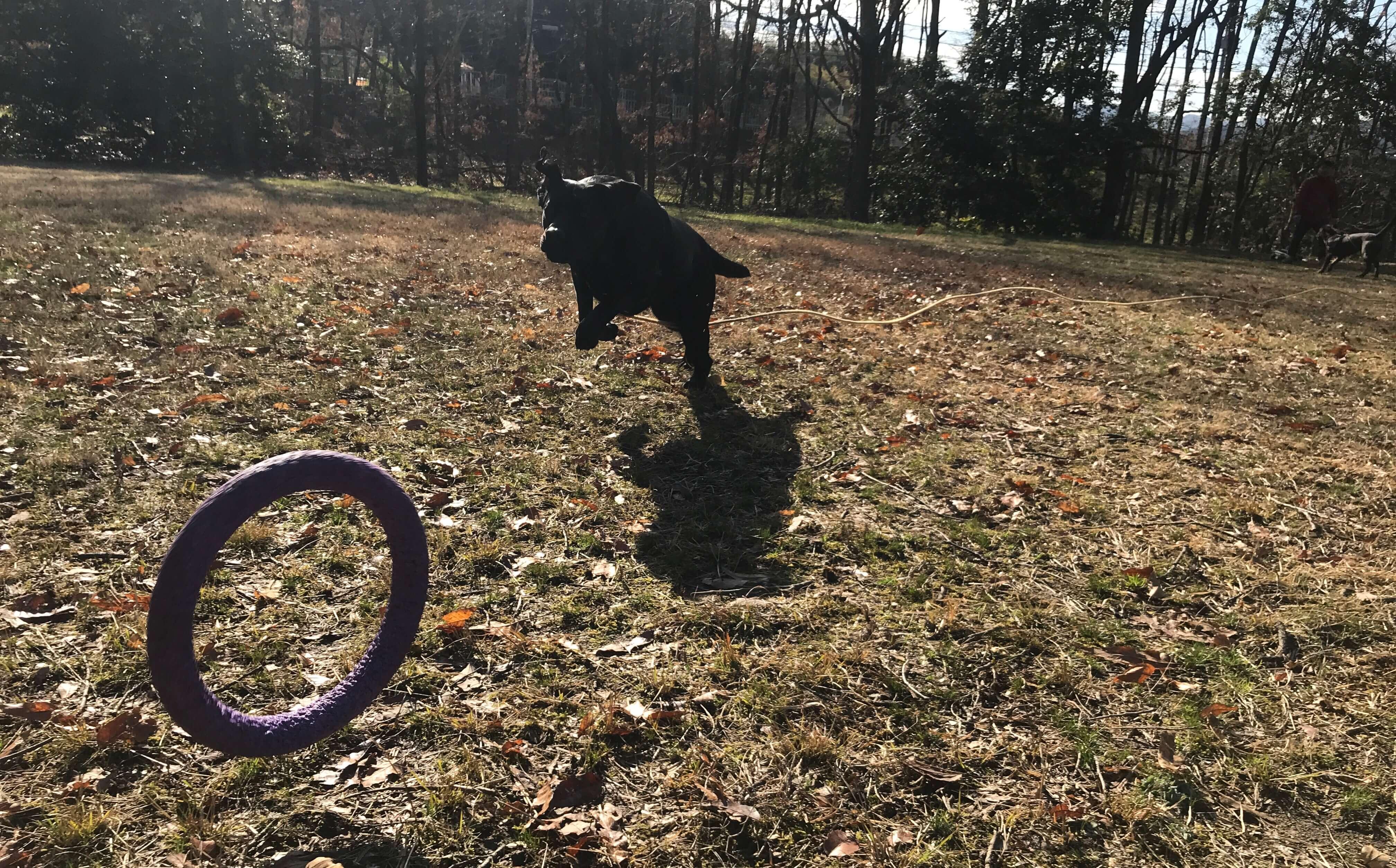 犬のおもちゃ pullerを追いかけるラブラドールレトリバー