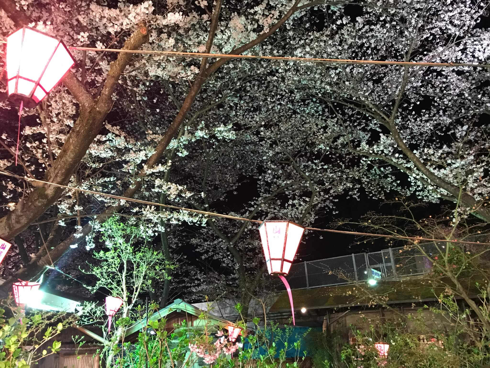 山麓苑 桜