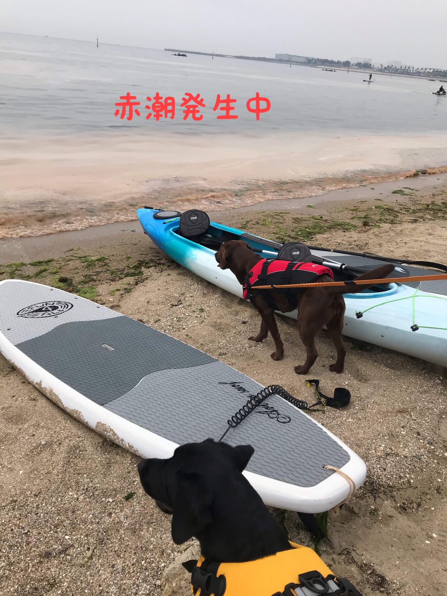 赤潮発生中 二色の浜 ラブラドールレトリバー カヌー SUP