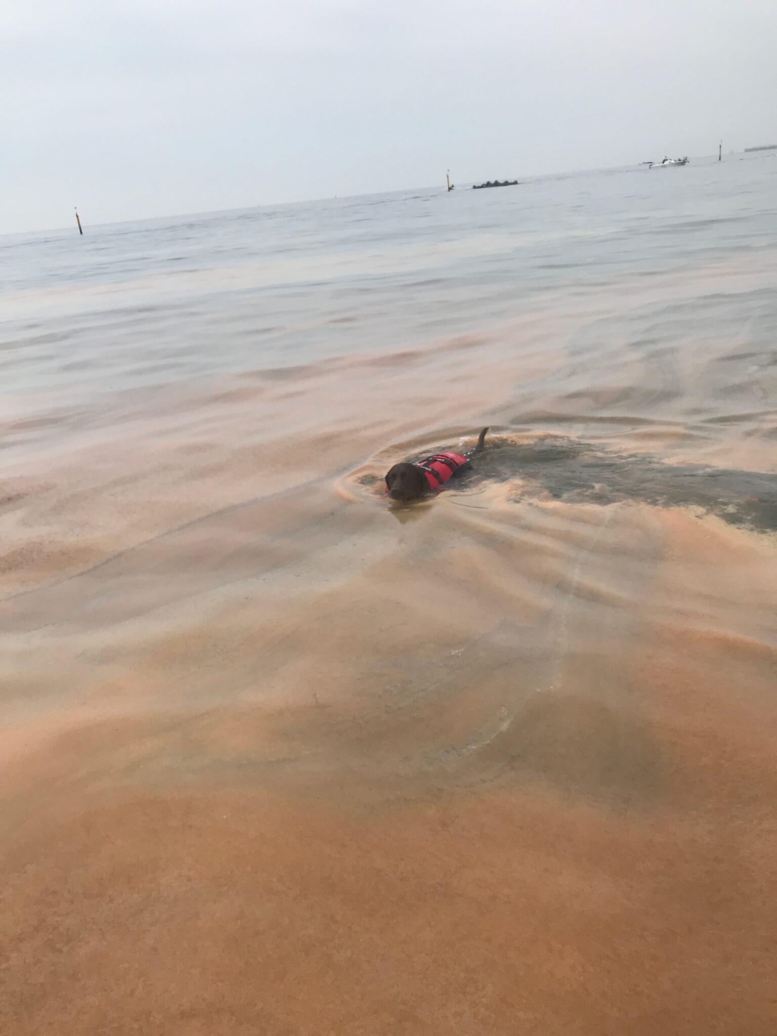 二色の浜 赤潮 EZYDOG ライフジャケットを着て泳ぐ犬