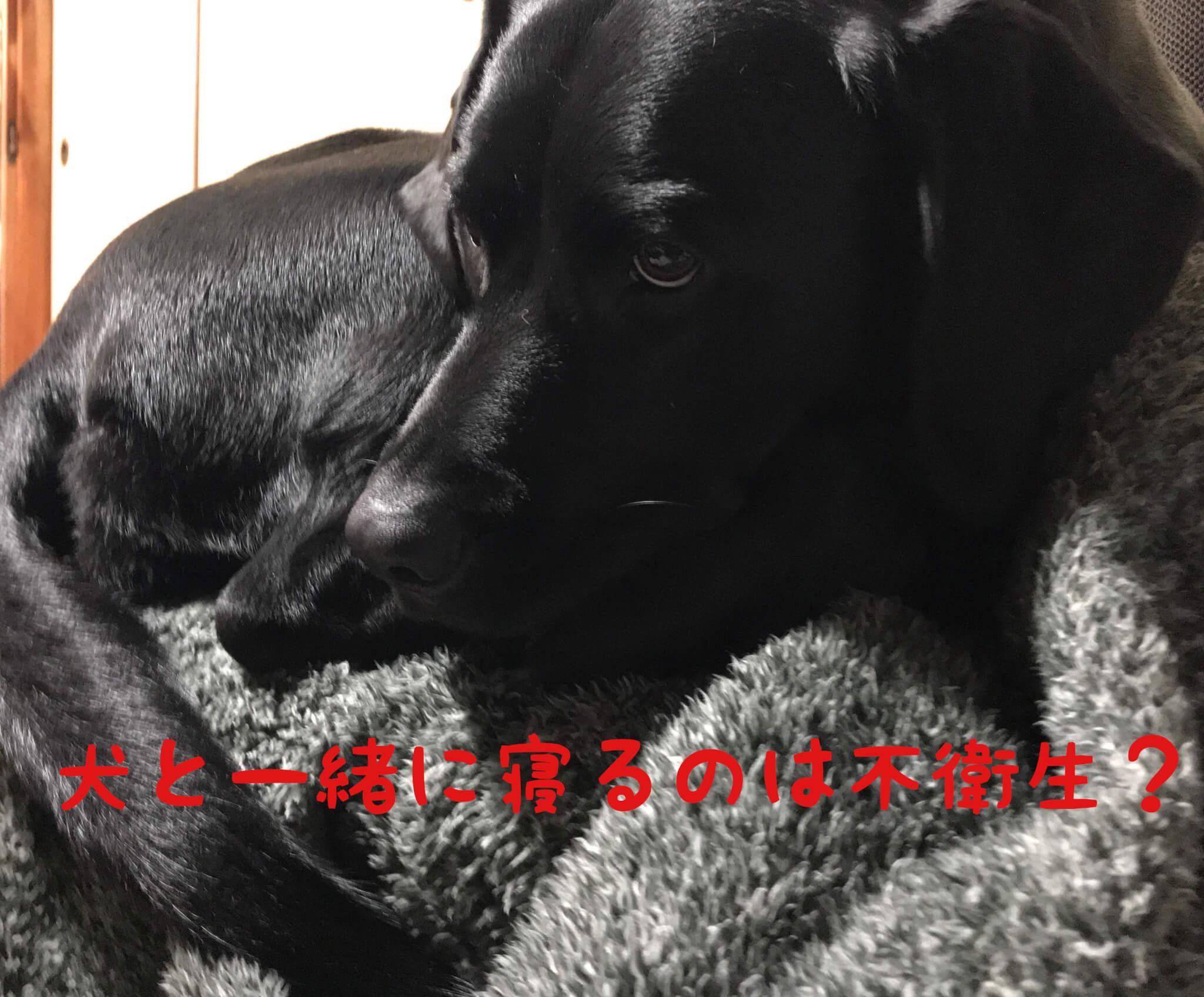 犬と一緒に寝るのは不衛生?ラブラドールレトリバー